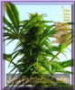 Spliff Mega Power Plant Feminized 5 Weed Seeds